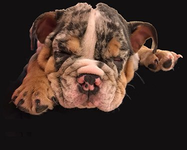 Adult Bulldogs Planet Merle English Bulldogs Home Of The
