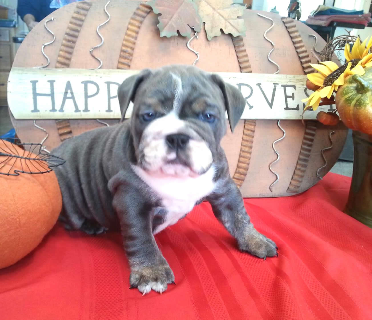 Pricing Planet Merle English Bulldogs Home Of The Fully